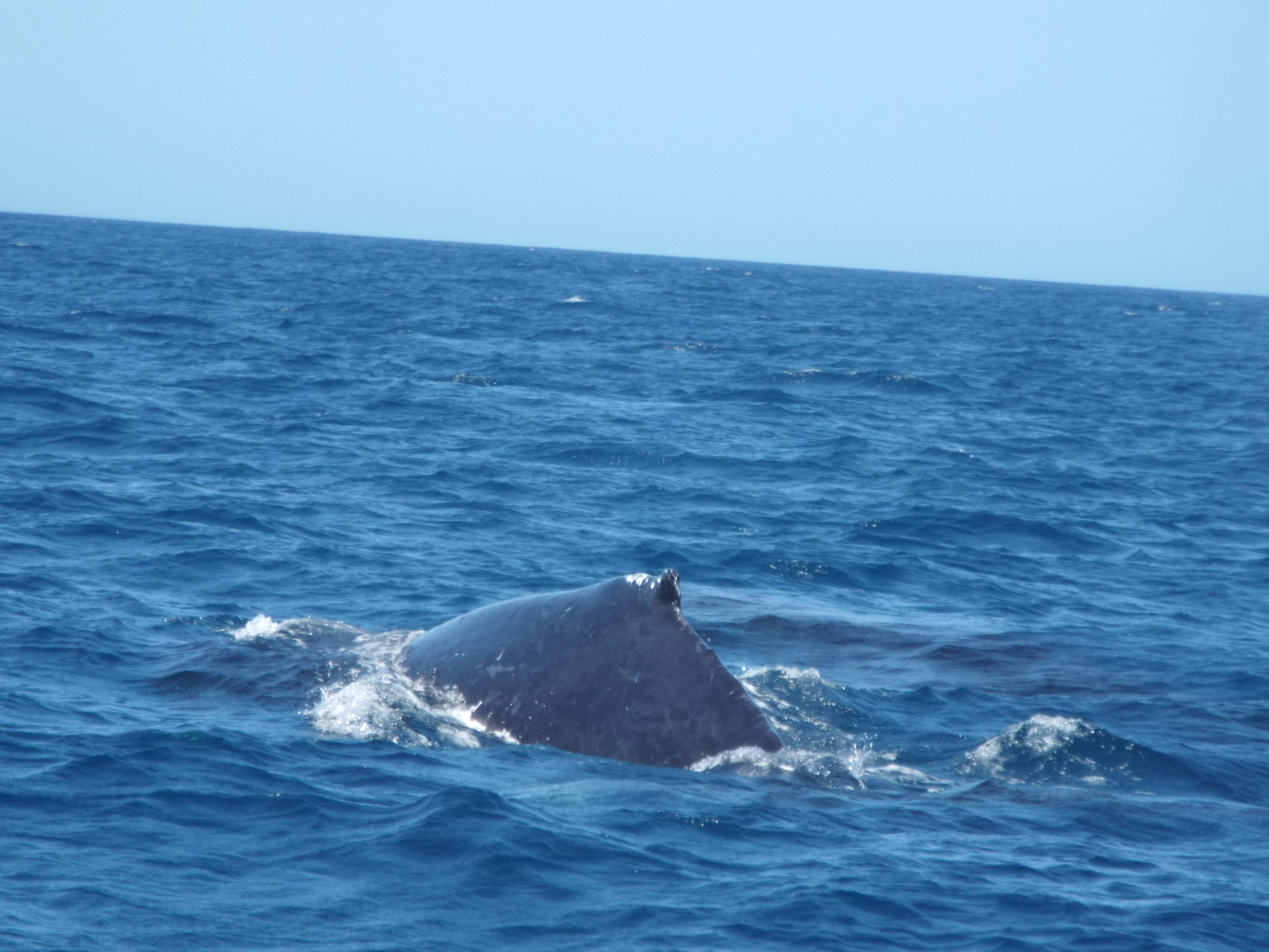 Whale going under boat