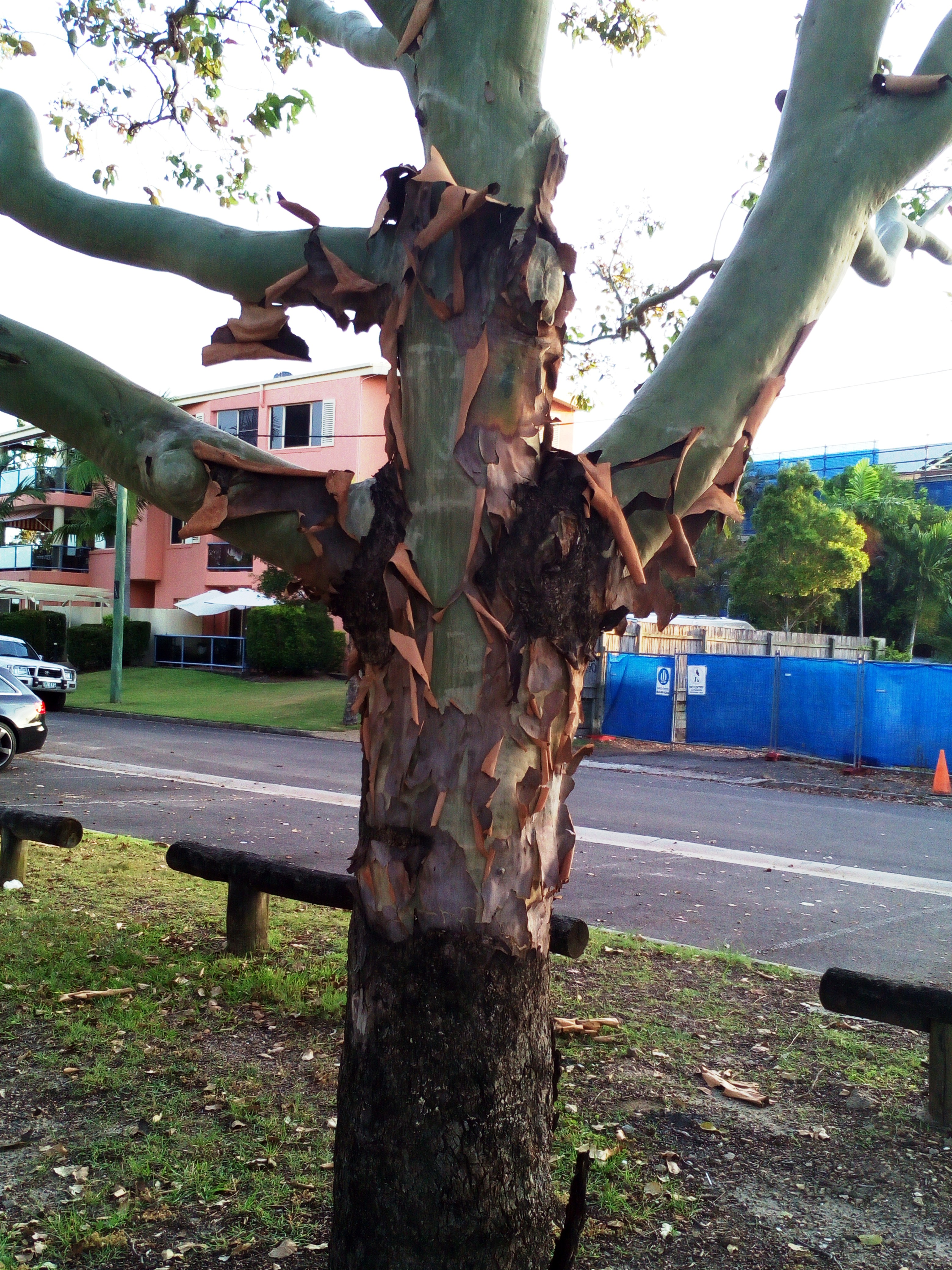Tree shedding bark
