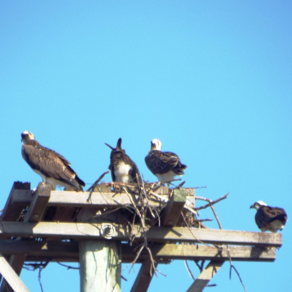 Four osprey on their nest