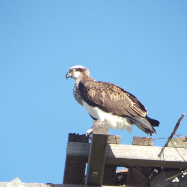 Osprey keeping watch on nesting platform